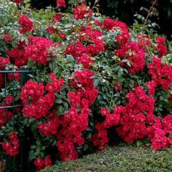 Růže pnoucí 'Sommerabend' - Rosa PN 'Sommerabend'