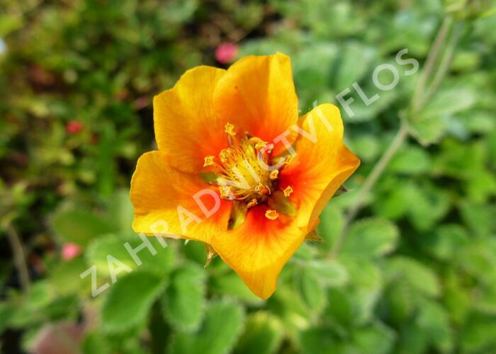 Mochna - Potentilla argyrophylla