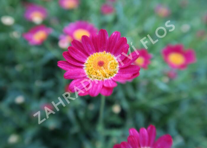 Kopretina pařížská 'Aramis Red' - Argyranthemum frutescens 'Aramis Red'