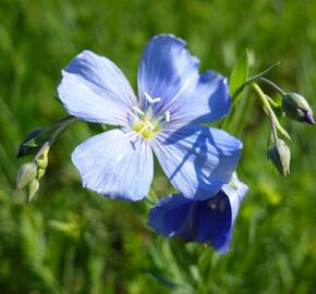 Len vytrvalý 'Nanum Blau Saphyr' - Linum perenne 'Nanum Blau Saphyr'