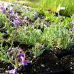 Lnice alpská - Linaria alpina