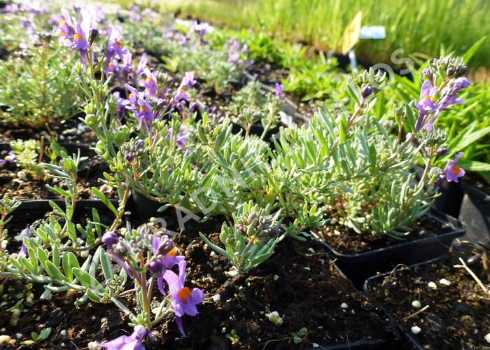 Lnice - Linaria alpina