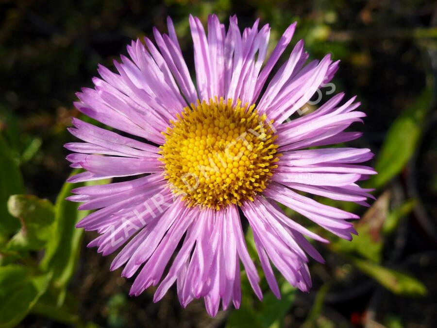 Turan nádherný 'Rosa Juwel' - Erigeron speciosus 'Rosa Juwel'