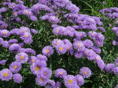 Turan nádherný 'Azurfee' - Erigeron speciosus 'Azurfee'