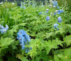 Ostrožka 'Summer Skies' - Delphinium Pacific 'Summer Skies'