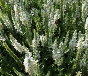 Rozrazil klasnatý 'Younique Baby White' - Veronica spicata 'Younique Baby White'