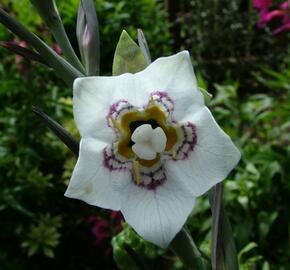 Asijský zvonek - Codonopsis clematidea