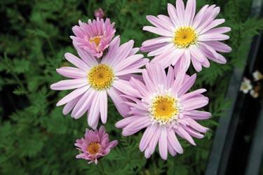 Listopadka šarlatová  'Robinson Rosa' - Chrysanthemum coccineum 'Robinson Rosa'