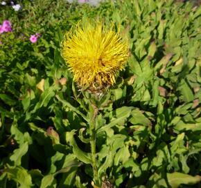 Chrpa žlutokvětá - Centaurea macrocephala