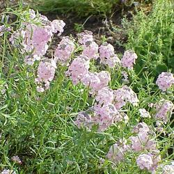 Sivutka velkokvětá - Aethionema grandiflora