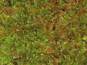 Mechovec kostrbatý - Cotula squalida