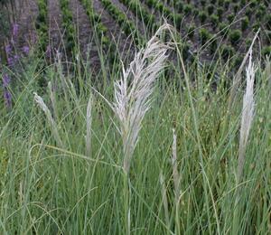 Pampová tráva 'Sunningdale Silver' - Cortaderia selloana 'Sunningdale Silver'