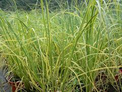 Pampová tráva 'Goldband' - Cortaderia selloana 'Goldband'