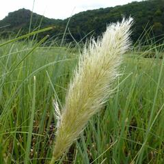 Pampová tráva 'Citaro' - Cortaderia selloana 'Citaro'