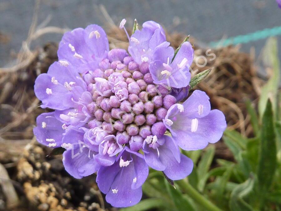 Hlaváč japonský 'Ritz Blue' - Scabiosa japonica 'Ritz Blue'