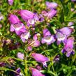 Dračík 'Carillo Purple' - Penstemon x mexicali 'Carillo Purple'