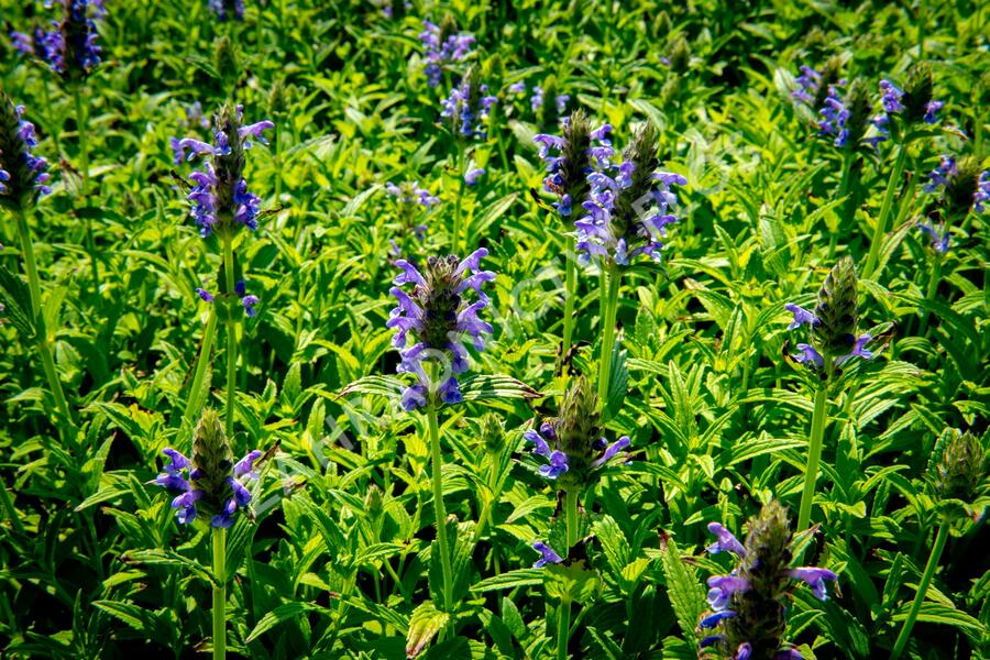Šanta  'Blue Carpet' - Nepeta nervosa 'Blue Carpet'