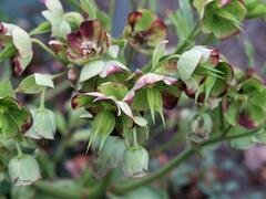 Čemeřice smrdutá - Helleborus foetidus