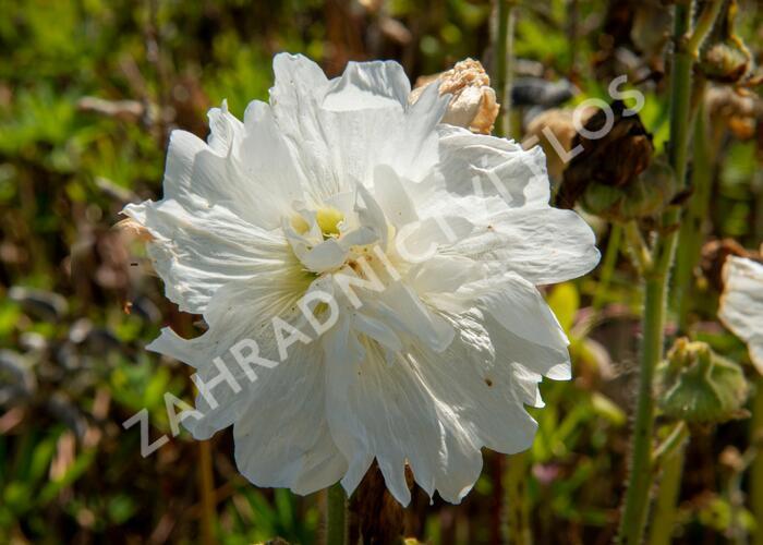 Topolovka růžová 'Spring Celebrities White' - Alcea rosea 'Spring Celebrities White'