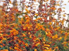 Agastache 'Agadir Orange' - Agastache aurantiaca 'Agadir Orange'