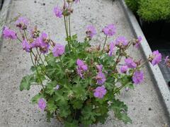Kakost 'Karmina' - Geranium x cantabrigiense 'Karmina'