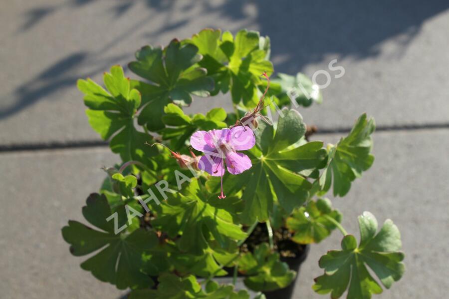 Kakos 'Karmina' - Geranium x cantabrigiense 'Karmina'