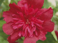 Topolovka růžová 'Spring Celebrities Rose' - Alcea rosea 'Spring Celebrities Rose'