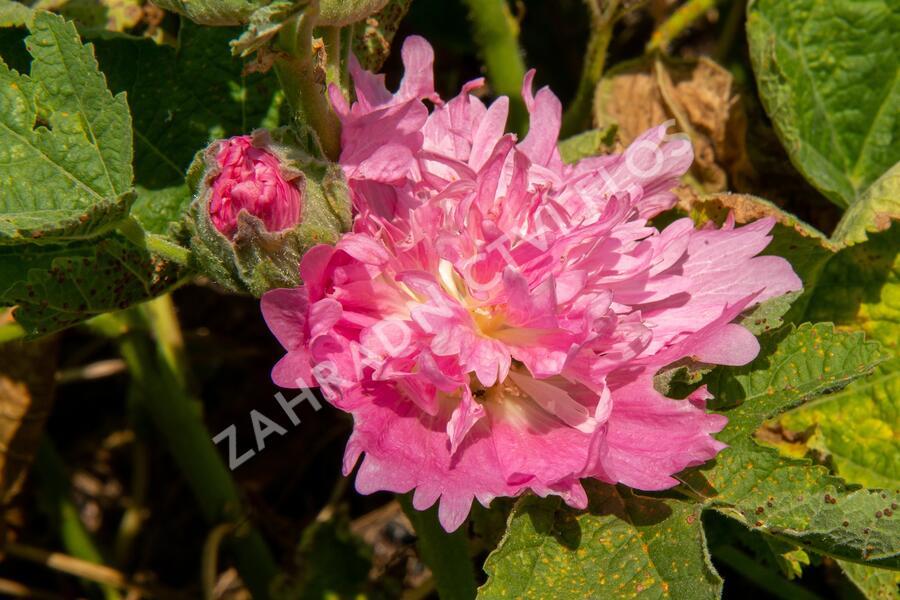 Topolovka růžová 'Spring Celebrities Pink' - Alcea rosea 'Spring Celebrities Pink'