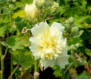 Topolovka růžová 'Spring Celebrities Lemon' - Alcea rosea 'Spring Celebrities Lemon'