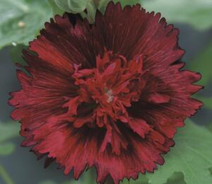 Topolovka růžová 'Spring Celebrities Crimson' - Alcea rosea 'Spring Celebrities Crimson'