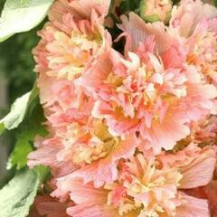 Topolovka růžová 'Spring Celebrities Apricot' - Alcea rosea 'Spring Celebrities Apricot'
