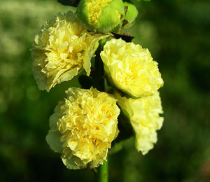 Topolovka růžová 'Chater's Yellow' - Alcea rosea plena 'Chater's Yellow'