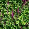 Šalvěj nádherná - Salvia superba 'New Dimensions Rose'