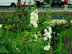 Topolovka růžová 'Chater's White' - Alcea rosea plena 'Chater's White'
