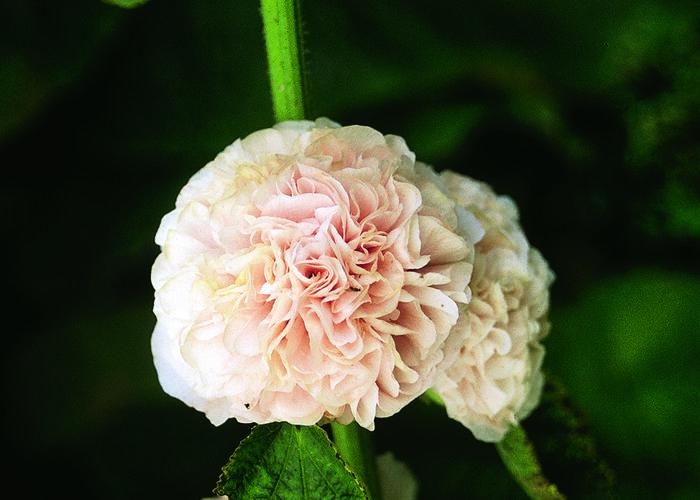 Topolovka růžová 'Chater's Rose' - Alcea rosea plena 'Chater's Rose'