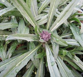 Trýzel 'Bowles Mauve' - Erysimum linifolium 'Bowles Mauve'