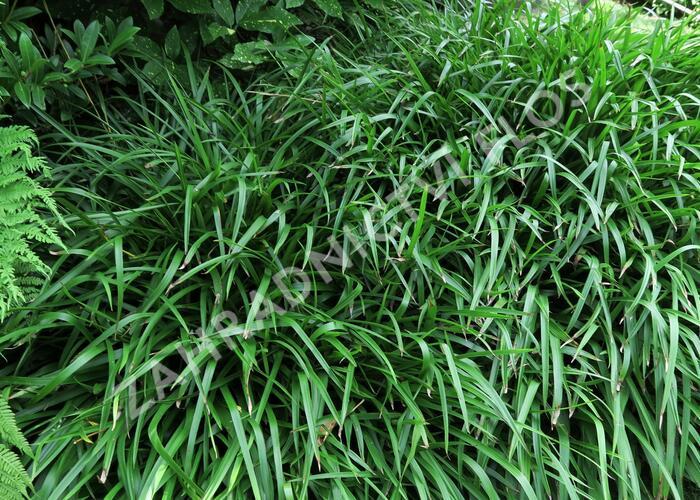 Bika lesní - Luzula sylvatica