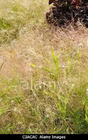 Proso prutnaté 'Gold Fountain' - Panicum virgatum 'Gold Fountain'