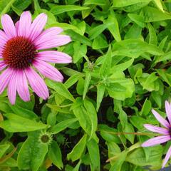 Třapatka nachová 'Prairie Splendor Deep Rose' - Echinacea purpurea 'Prairie Splendor Deep Rose'