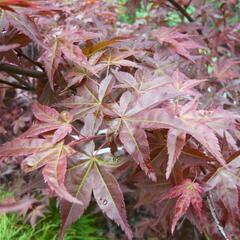 Javor dlanitolistý 'Deshojo' - Acer palmatum 'Deshojo'