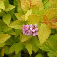 Tavolník japonský 'Goldmound' - Spiraea japonica 'Goldmound'