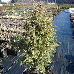 Jalovec obecný 'Gold Cone' - Juniperus communis 'Gold Cone'