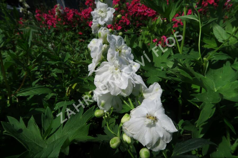 Ostrožka 'Jupiter White' - Delphinium x cult. 'Jupiter White'