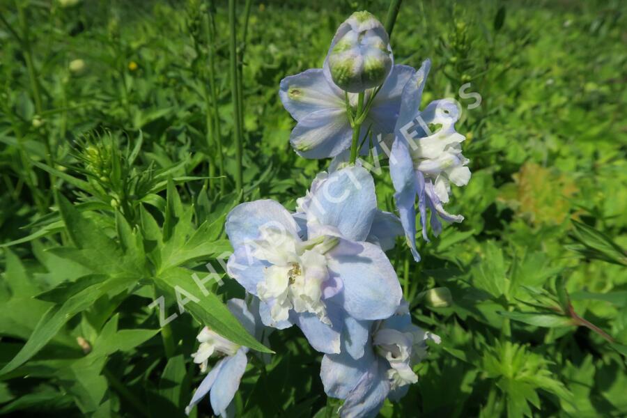 Ostrožka 'Jupiter Sky Blue' - Delphinium x cult. 'Jupiter Sky Blue'
