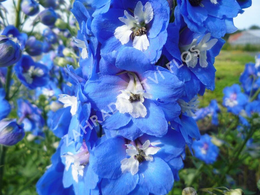 Ostrožka 'Jupiter Blue' - Delphinium x cult. 'Jupiter Blue'