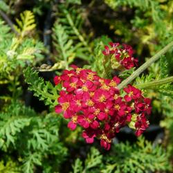 Řebříček obecný 'Paprika' - Achillea millefolium 'Paprika'