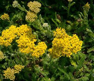 Řebříček obecný 'Desert Eve Yellow' - Achillea millefolium 'Desert Eve Yellow'