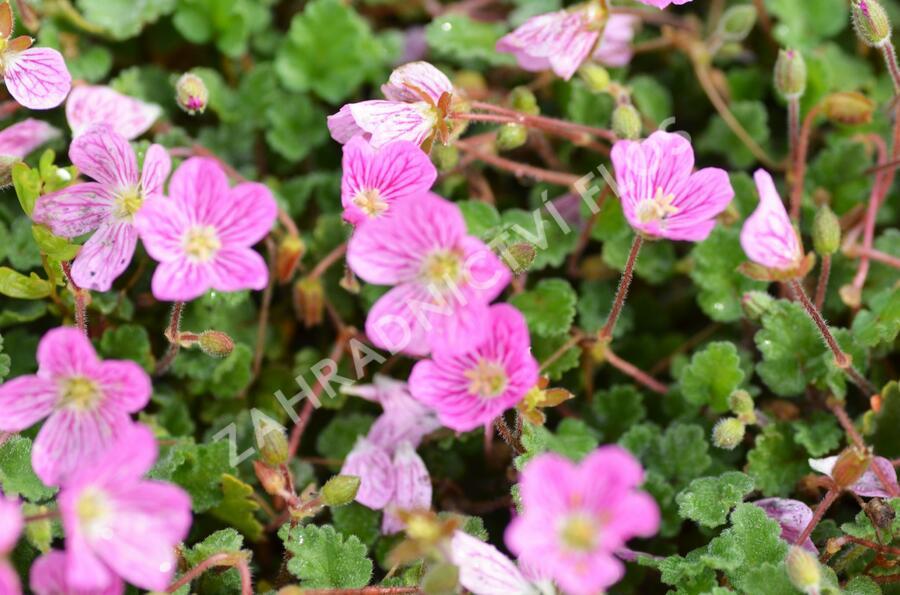 Pumpava 'Bishop's Form' - Erodium variabile 'Bishop's Form'