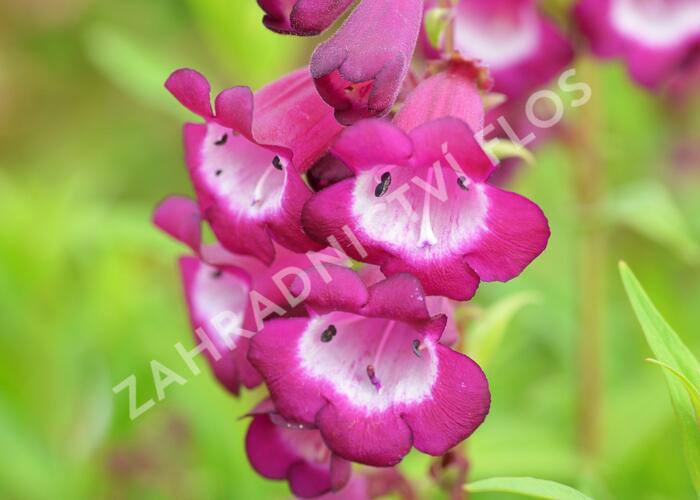 Dračík 'Arabesque Violet' - Penstemon hartwegii 'Arabesque Violet'