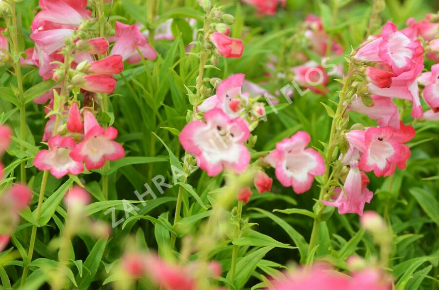 Dračík 'Arabesque Pink' - Penstemon hartwegii 'Arabesque Pink'